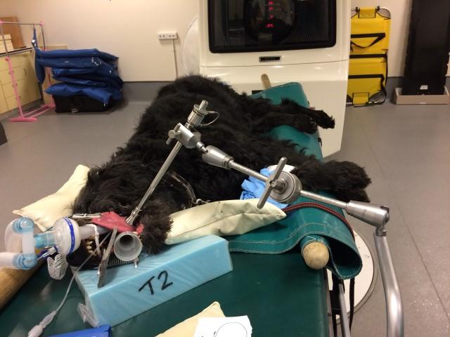 OnkolVet pies- laserowe usunięcie całej zmiany nowotworowej z adjuwantową karboplatyną