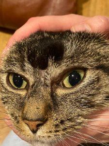 zmiana na głowie w okolicy czołowej, między oczami u kota